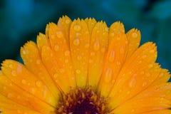 Fotoet av trädgården blommar calendulaen Royaltyfri Foto