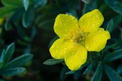 Fotoet av trädgården blommar cinquefoilen Royaltyfri Bild
