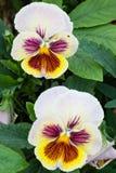 Fotoet av trädgården blommar pansyen Royaltyfria Foton