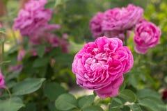 Fotoet av trädgården blommar pionen Arkivbilder