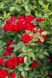 Fotoet av trädgården blommar ro Royaltyfri Foto