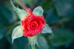 Fotoet av trädgården blommar ro Royaltyfri Bild