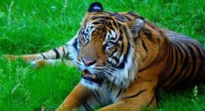 Fotogener Tiger Stockbilder