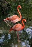 Fotogenieke Flamingo's stock afbeeldingen
