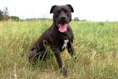 Fotogenieke Pitbull van een hond, Amerikaanse Terier, gebied stock afbeeldingen