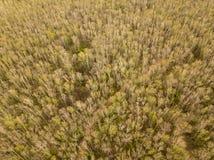 Fotografía aérea del bosque del abedul foto de archivo