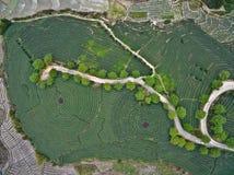 Fotografía aérea encima del paisaje del jardín de té de montaña Foto de archivo libre de regalías