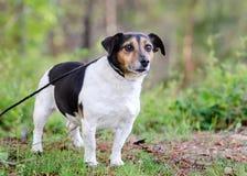 Fotografía al aire libre del perro de Jack Russell Terrier Fotos de archivo