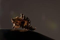 Fotografía artística de la cáscara del mar en fondo oscuro fotos de archivo libres de regalías