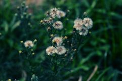 Fotografía blanca de la macro de la flor del diente de león foto de archivo
