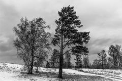 Fotografía blanco y negro atmosférica del pino y del abedul Foto de archivo