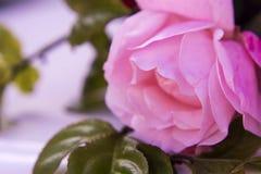 Fotografía color de rosa de la macro, captura de la flor Imagen de archivo libre de regalías
