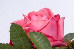 Fotografía color de rosa de la macro, captura de la flor Fotos de archivo libres de regalías