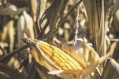 Fotografía común de la acción de granja del maíz de la cosecha del tiempo de caída imagenes de archivo
