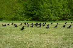 Fotografía con el grupo de cuervos en el bosque foto de archivo libre de regalías