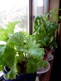 Fotografía de Basil Plants Growing en alféizar Fotografía de archivo libre de regalías