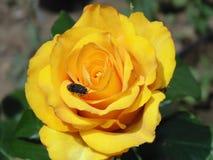 Fotografía de la abeja en rosa del amarillo de la flor Foto de archivo
