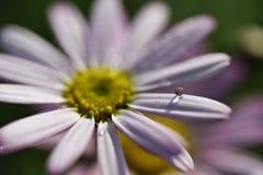 Fotografía de la acción de la gotita de la flor: Flor rosada de Gerber Imagenes de archivo