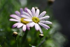 Fotografía de la acción de la gotita de la flor: Flor rosada de Gerber Foto de archivo