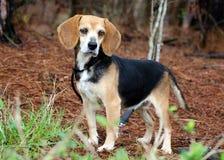 Fotografía de la adopción del perro del beagle Imagen de archivo