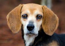 Fotografía de la adopción del perro del beagle Foto de archivo