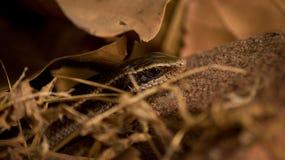Fotografía de la fauna, fotografía de la serpiente, fotografía de la fauna foto de archivo libre de regalías