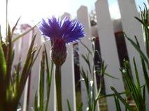 Fotografía de la flor azul abierta del botón del soltero Imagen de archivo