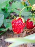 Fotografía de la fruta de la fresa Fotografía de archivo libre de regalías