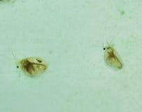 Fotografía de la macro de la Daphnia Foto de archivo