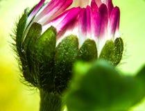 Fotografía de la macro de la flor de la margarita Foto de archivo