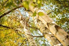 Fotografía de la naturaleza con el abedul en verano Imagen de archivo