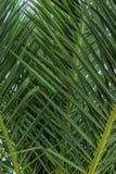 Fotografía de las hojas de una palmera fotos de archivo libres de regalías