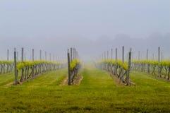 Fotografía de niebla del viñedo foto de archivo