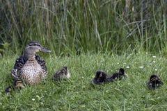 Fotografía de un pato silvestre femenino con los bebés imagen de archivo libre de regalías