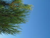 Fotografía de una rama del pino Fotos de archivo