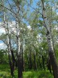 Fotografía de una rama del pino Fotos de archivo libres de regalías