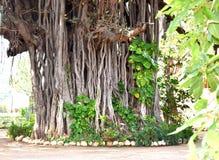 Fotografía del BANIANO Imagen de archivo libre de regalías