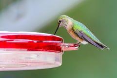 Fotografía del pájaro de la fauna del colibrí fotos de archivo libres de regalías