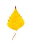 Fotografía del primer de un aislador otoñal de la hoja del árbol de abedul que marchita Imagen de archivo libre de regalías