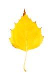Fotografía del primer de un aislador otoñal de la hoja del árbol de abedul que marchita Foto de archivo libre de regalías