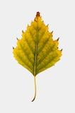 Fotografía del primer de un aislador otoñal de la hoja del árbol de abedul que marchita Fotografía de archivo libre de regalías