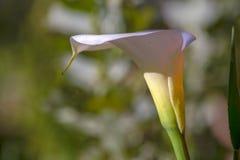 Fotografía del primer de una flor del lirio de arum fotografía de archivo