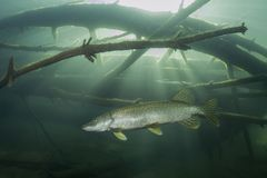 Fotografía del submarino del lucius de Esox del lucio europeo de los pescados de agua dulce imágenes de archivo libres de regalías