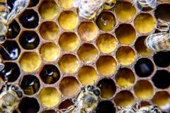 Fotografía macra de abejas Danza de la abeja de la miel Abejas en una colmena de la abeja en los panales Foto de archivo libre de regalías
