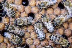 Fotografía macra de abejas Danza de la abeja de la miel Abejas en una colmena de la abeja en los panales Imagenes de archivo