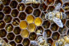 Fotografía macra de abejas Danza de la abeja de la miel Abejas en una colmena de la abeja en los panales Imágenes de archivo libres de regalías