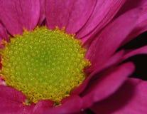 Fotografía macra de Dahlia Flower rosada con el centro del verde lima fotos de archivo