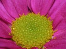 Fotografía macra de Dahlia Flower rosada con el centro del verde lima imagen de archivo
