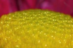Fotografía macra de Dahlia Flower rosada con el centro del verde lima fotografía de archivo