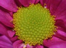 Fotografía macra de Dahlia Flower rosada con el centro del verde lima foto de archivo libre de regalías